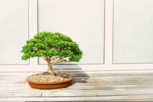como cuidar de bonsai