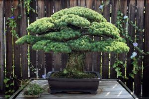 5 Plantas ideais para iniciantes na arte dos Bonsais
