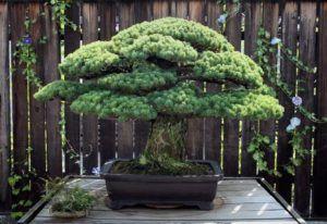 6 Estilos de bonsai para se inspirar